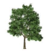 árbol aislado. quercus — Foto de Stock