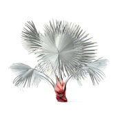 Palm plant tree isolated. Bismarckia nobilis — Stock Photo
