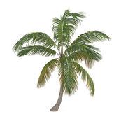 Coco palm tree isolated. Cocos nucifera — Stock Photo