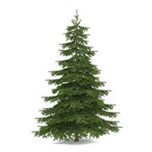 Tree isolated. Picea fir-tree — Stock Photo