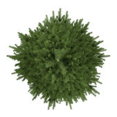 Tree isolated. Picea fir-tree top — Stock Photo