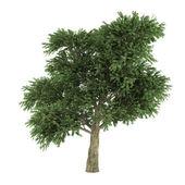 Tree isolated. Arbutus menziesii — Stock Photo