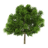 Tree isolated. Aesculus glabra — Stock Photo