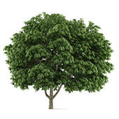 Tree isolated. Aesculus chestnut — Stock Photo