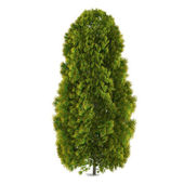 Tree isolated. Thuja — Stock Photo