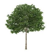 Tree isolated. Sorbus — Стоковое фото