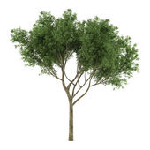 Tree isolated. Salix fragilis — Stock Photo