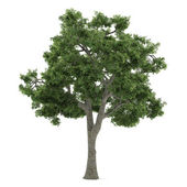 Tree isolated. Fraxinus — Stock Photo