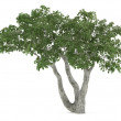 Tree isolated. Ficus benjamina — Stock Photo