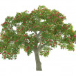 Stock Photo: Tree isolated. Erythrina