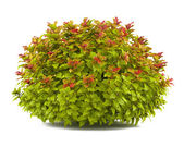 Plant bush isolated. Spiraea — Stock Photo