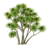 Palm plant tree isolated. Cordyline australis — Stock Photo