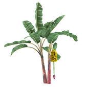 Palm plant tree isolated. Musa acuminata banana — Stock Photo