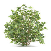 Plant bush isolated. Ficus carica — Stock Photo