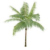 Palm plant tree isolated. Dictyosperma album — Stock Photo
