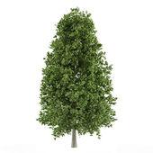 Tree isolated. Aesculus hippocastanum — Stock Photo