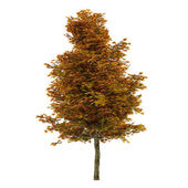 Autumn tree isolated. Platanus — Stock Photo