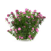 Plant bush with pink flowers isolated — Stok fotoğraf
