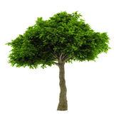 Exotic tree isolated. — Stock Photo