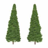 Tree isolated. Pinus fir-tree — Stock Photo