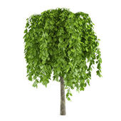 Tree with big leaves isolated — Stock Photo