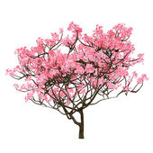 Sakura tree isolated — Stock Photo