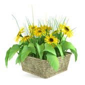 Sunflowers in a basket isolated — Stockfoto