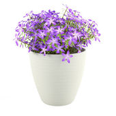 Violet flowers in the pot — Stock Photo