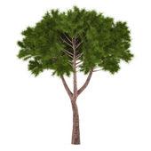 Tree pine isolated. — Stock Photo