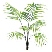 Palm plant tree isolated — Stock Photo