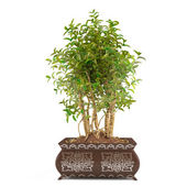 Tree bush in the pot isolated — Stock Photo