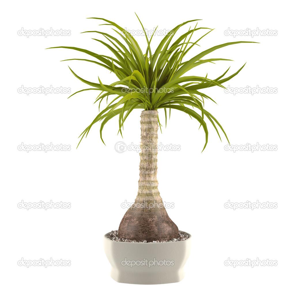 Palmier d coratif plante dans le pot photographie for Palmier dans pot