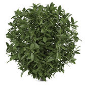Plant bush isolated — Stock Photo