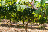 Healthy ripe sweet and juicy white grapes — Foto de Stock