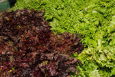 Green and red fresh lettuce — Stock Photo