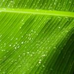 Rain drops on banana tree leafs. — Stock Photo #41910039