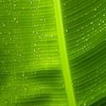 Rain drops on banana tree leafs. — Stock Photo #41910107