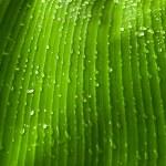 Rain drops on banana tree leafs. — Stock Photo #41910115