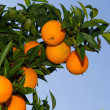 Fresh ripe oranges on the trees. — Stock Photo