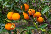 Fresh ripe oranges on the trees. — Stock Photo