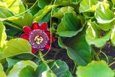 Fruit plant giant granadilla — Zdjęcie stockowe