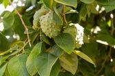 Pérou et équateur arbre fruitier de native annona cherimola. — Photo