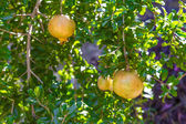 Pomegranate fruit tree with fruits. — Foto Stock