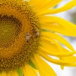 Sunflower and bee in garden — Stock Photo
