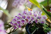 Rhynchostylis retusa Orchids — Stock Photo