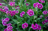 Background of China Pink Flower , Dianthus chinensis L.  — Stock Photo