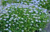 Sfondo fiore bella pianta viola — Foto Stock