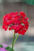 Beautiful Red Flower in Garden — Stock Photo