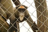 De Brazza's monkey — Stock Photo