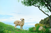 Grazing lamb in mountains — Stock Photo